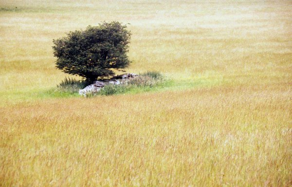 Lone tree in field, Leicestershire