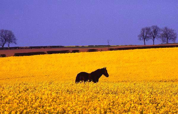 Horse in rapeseed field, Leicestershire