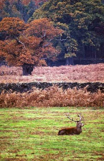 Red Deer Stag in Bradgate Park, Leicestershire