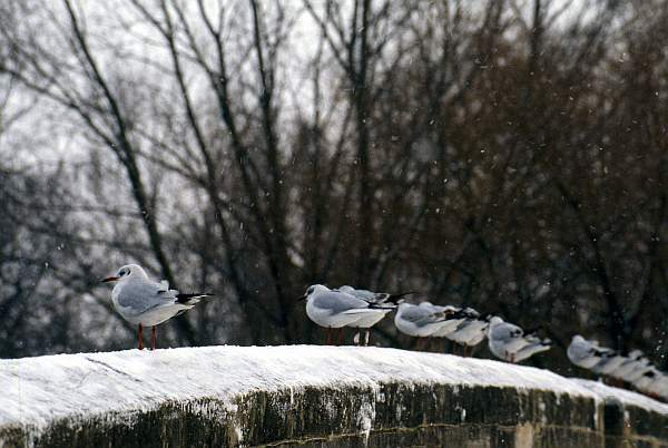 Gulls Grounded Due to Snowfall, Abbey Park, Leicester